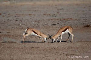 05-Olifant-Springbok fight