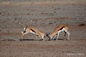 05-Olifant-Springbok fight