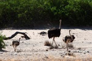 06-Khowarib-Common ostrich
