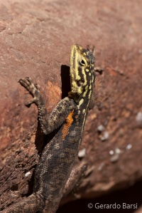07-Palmwag-Agama planiceps