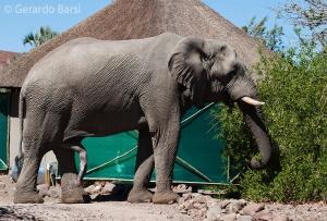 07-Palmwag-Desert elephant