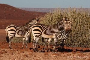 07-Palmwag-Hartmans zebra