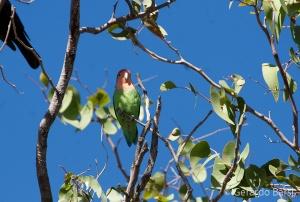 07-Palmwag-Rossy-faced lovebird
