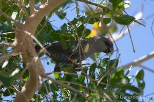 07-Palmwag-Ruppels parrot