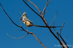 07-Palmwag-White-backed mousebird