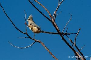 07-Palmwag-White-backed mousebird