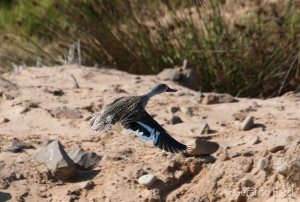 08-Skeleton coast-Cape teal