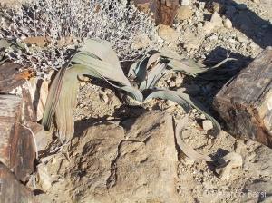 08-Welwitschia Mirabilis