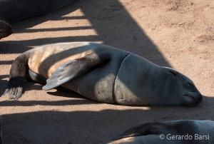 09-Cape Cross-Cape fur seal2