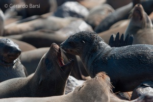 09-Cape Cross-Cape fur seal3