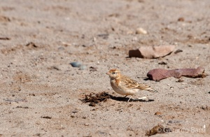 09-Cape Cross-Dune lark
