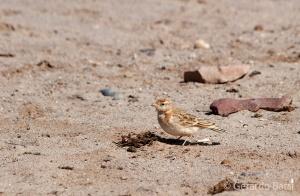 09-Cape Cross-Dune lark