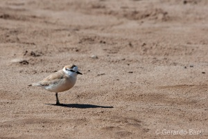 09-Cape Cross-White-fronted plover