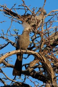 1-Winhoeek-Grey Go-away bird
