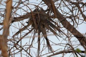 1-Winhoeek-White-backed mousebird