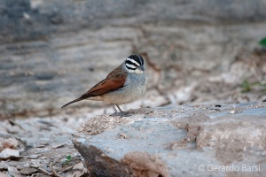 11-Sessriem-Cape bunting