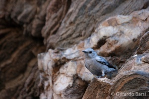 11-Sessriem-Mountain wheatear