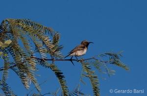 13-Dam-Dusky sunbird