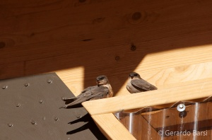 15-Kalahari anib lodge-Brown-throated martin