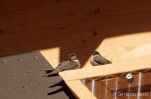 15-Kalahari anib lodge-Brown-throated martin