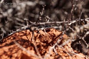 15-Kalahari anib lodge-Lagartija