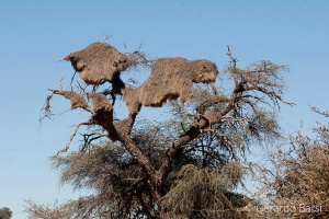 15-Kalahari anib lodge-sociable weaver nest
