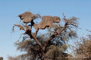 15-Kalahari anib lodge-sociable weaver nest