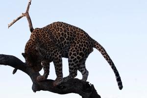 2-Okonjima-Leopard