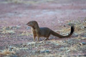2-Okonjima-Slender mongoose