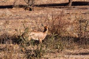2-Okonjima-Steenbok