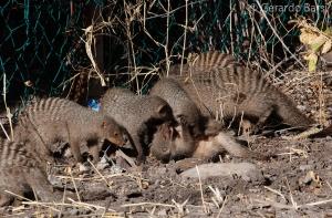 3-Halali-Banded mongoose