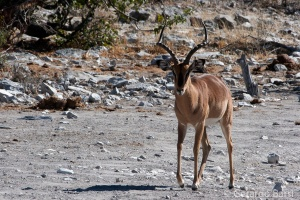 3-Halali-Black-faced impala