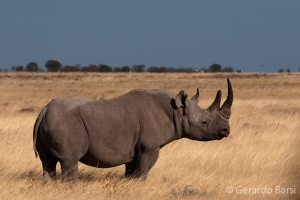 3-Halali-Black rhinoceros