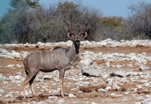 3-Halali-Greater kudu2