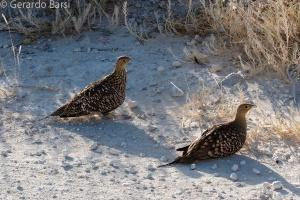 3-Halali-Namaqua sandgrouse