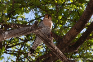 3-Halali-Red-necked falcon