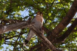 3-Halali-Red-necked falcon