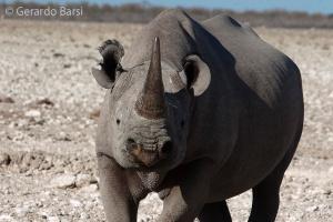 4-Okaukuejo-Black rhinoceros1