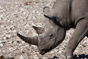 4-Okaukuejo-Black rhinoceros2