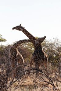 4-Okaukuejo-Giraffe1