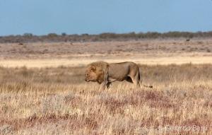 4-Okaukuejo-Lion