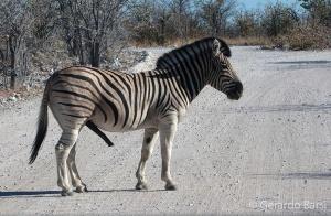 4-Okaukuejo-Plains zebra