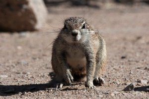 4-Okaukuejo-SAfrica ground squirrel