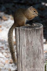 4-Okaukuejo-Tree squirrel
