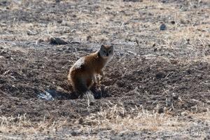 4-Okaukuejo-Yellow mongoose